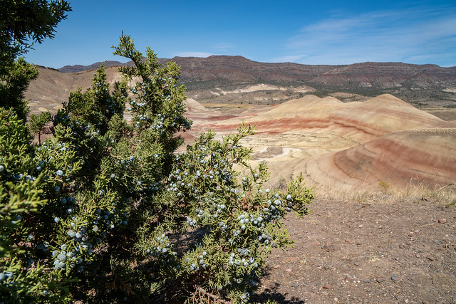 Juniper berries on a bush at the Painted Hills in John Day Fossil Beds National Monument in Oregon