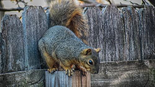 Squirrel 03 NIK