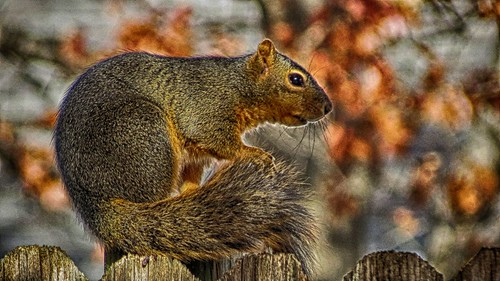 Squirrel 02 NIK