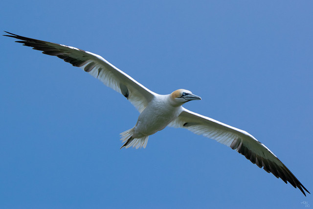 The flight of the Northern Gannet