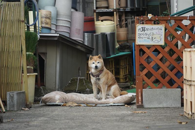 41Sony α7Ⅱ+TAMRON 28 200mm f2 8 5 6 RXD+Black Mistフィルター雑司ヶ谷霊園売店の犬