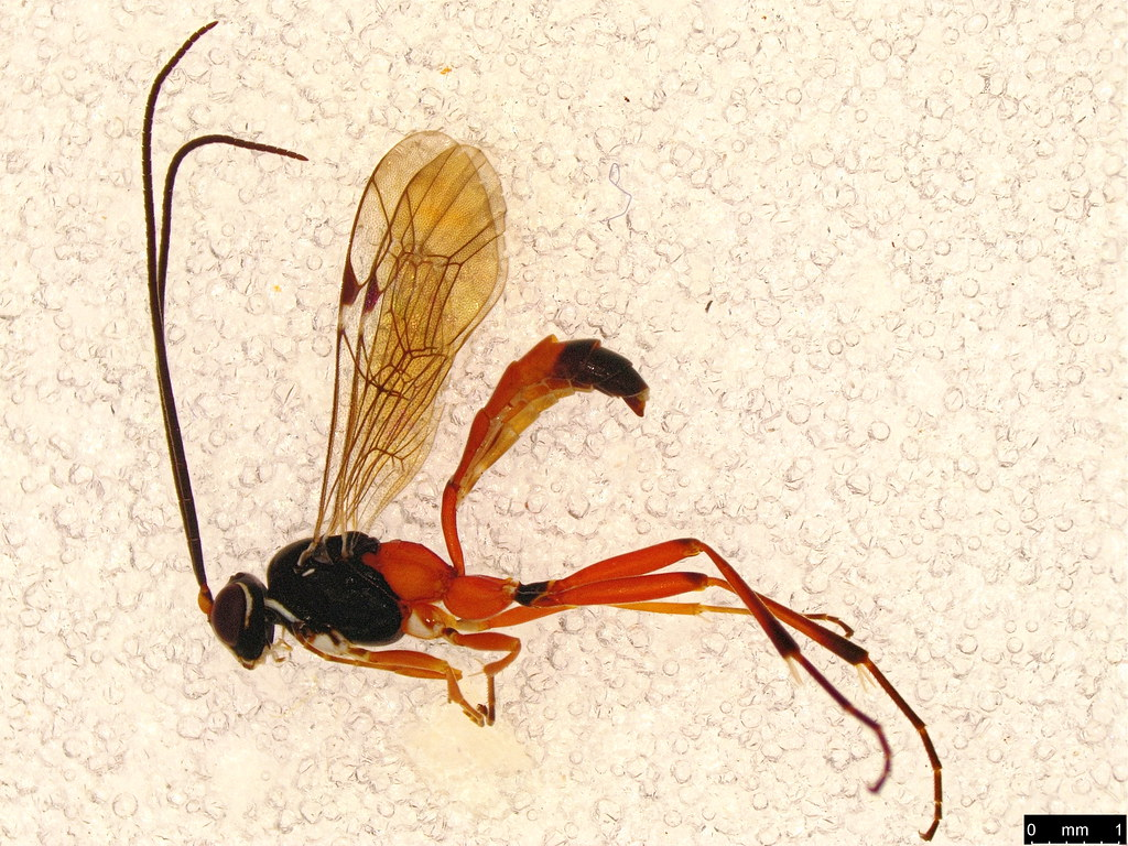 1a - Cryptinae sp.