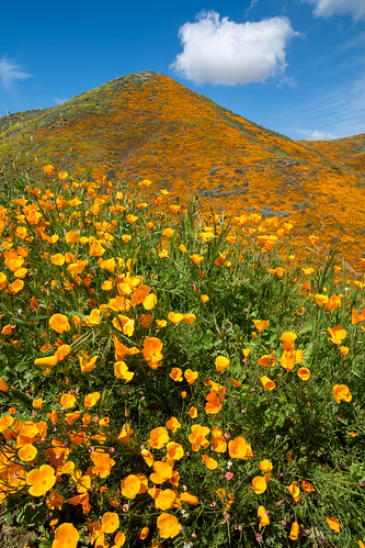 crowds spring californiapoppies flowers nature poppies beauty hill orange backpack wildflower overcrowded poppy walkercanyon superbloom poppyreserve people wildflowertourists hillside lakeelsinore ruiningnature california adventure colorful superbloom2019 beautiful bright hike trail crowded walking overtourism hiker poppyfield springtime publicland