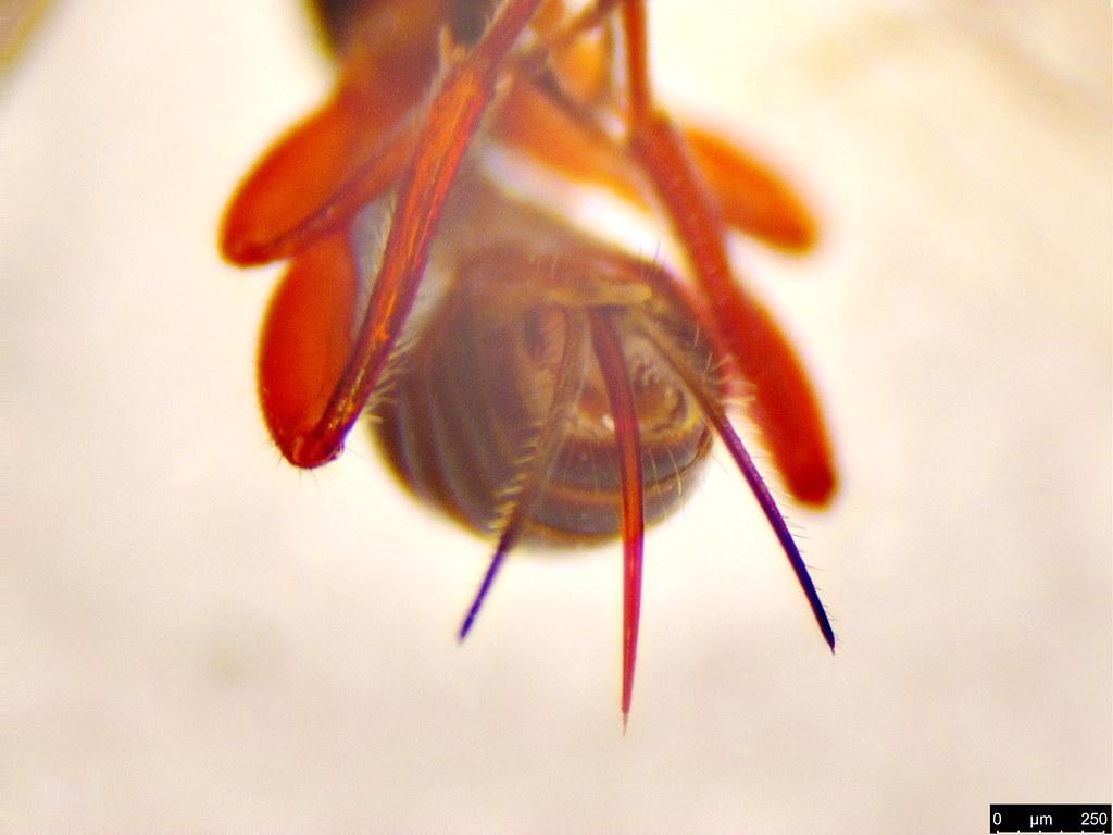 5c - Braconidae sp.