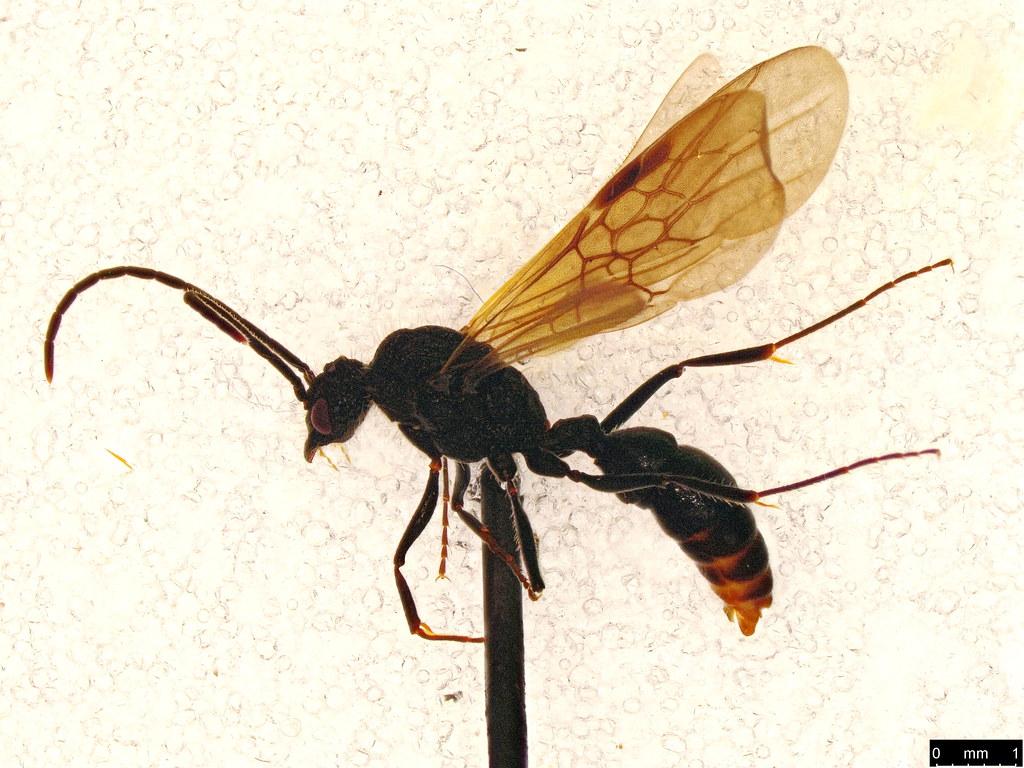 7a - Mutillidae sp.