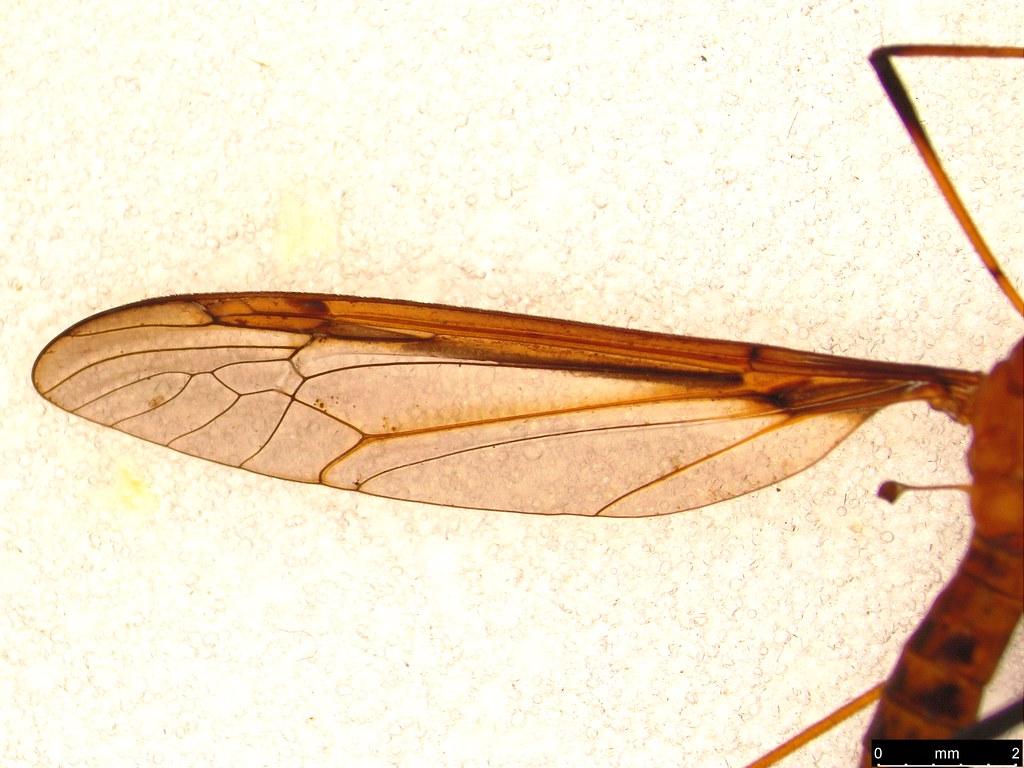 15b - Tipulidae sp.