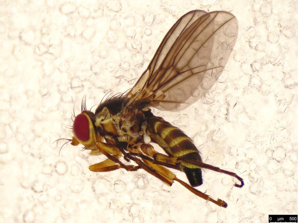 20 - Diptera sp.