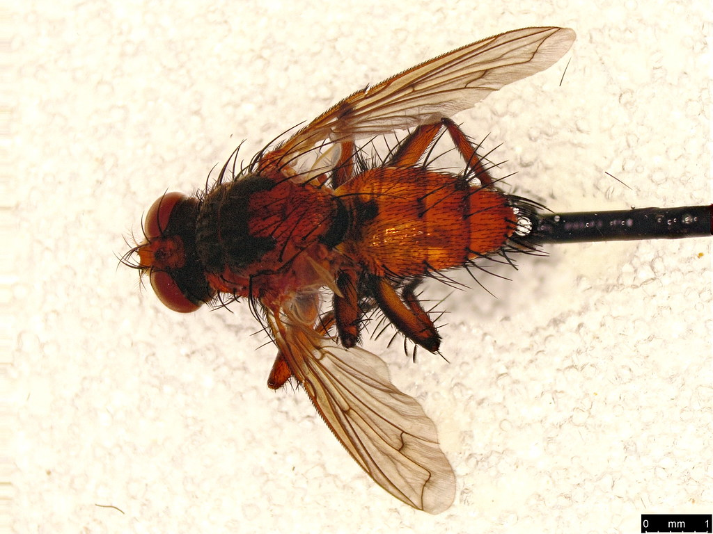 21a - Tachinidae sp.