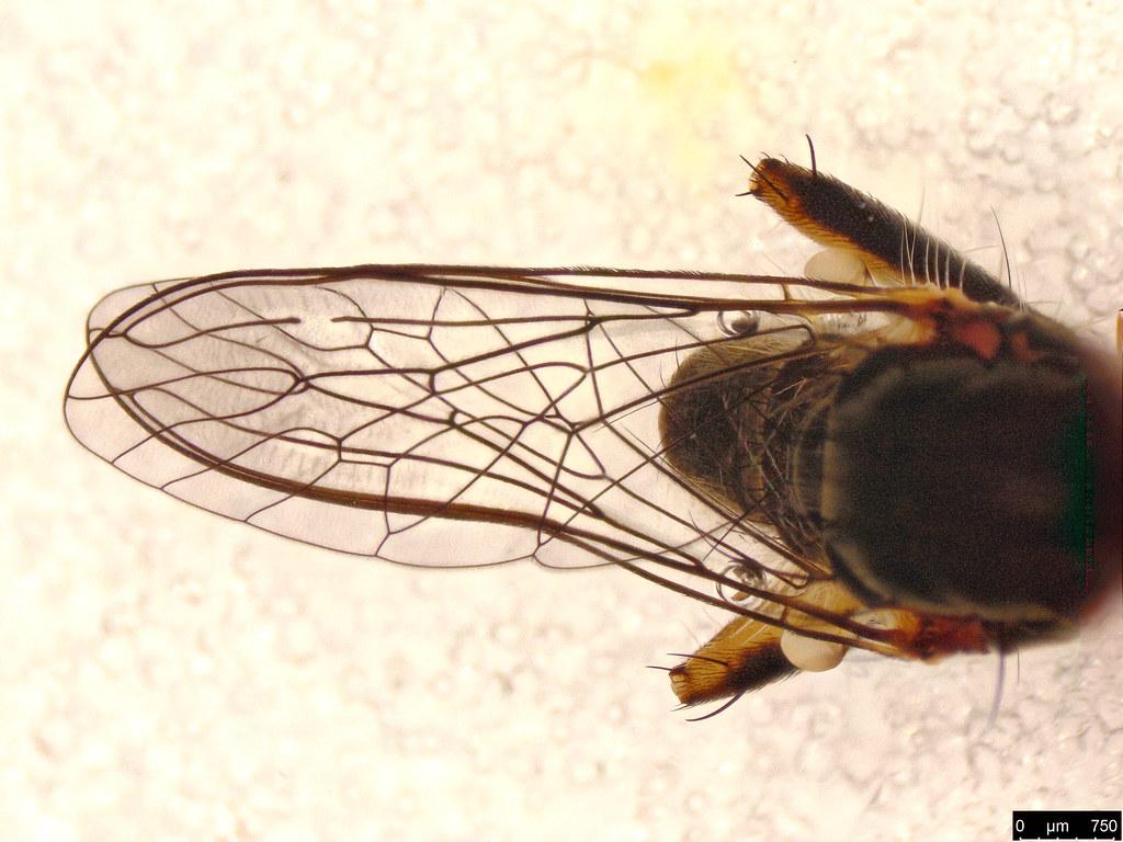 22b - Asilinae sp.