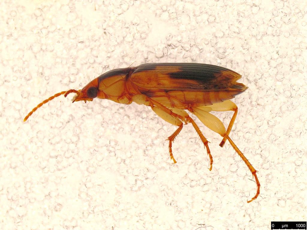 33 - Lebiini sp.