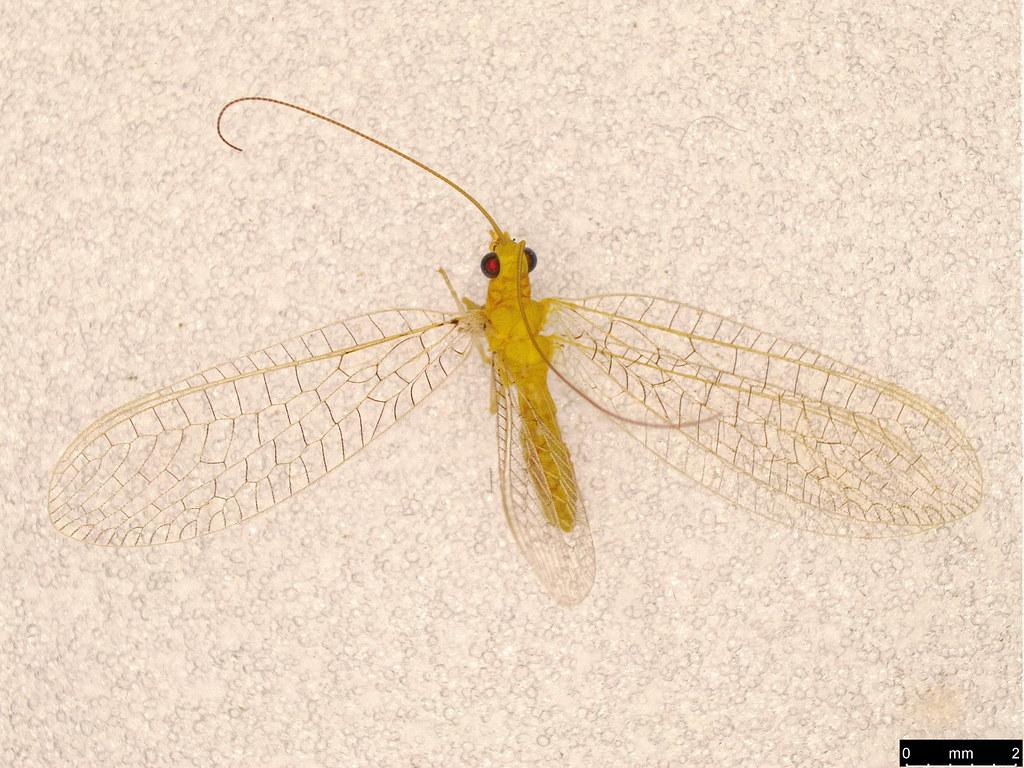 44 - Chrysopidae sp.