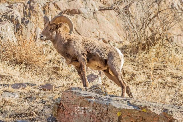 Bighorn Sheep Ram.