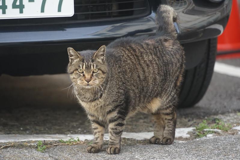 46Sony α7Ⅱ+TAMRON 28 200mm f2 8 5 6 RXD+Black Mistフィルター南池袋中央法律専門学校裏の猫だまり キジ虎