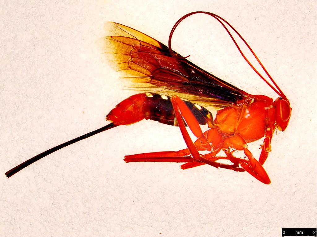 4a - Lissopimpla excelsa (Costa, 1864)