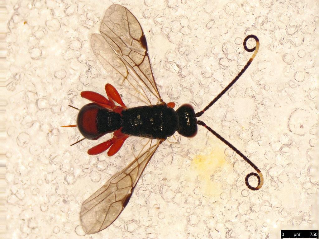 5b - Braconidae sp.