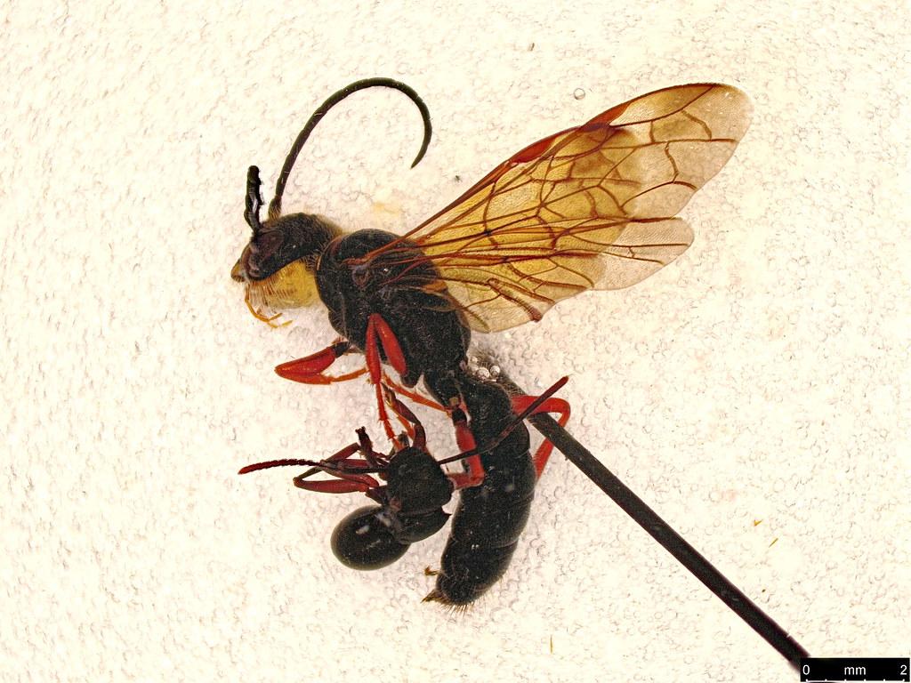 10a - Thynninae sp.