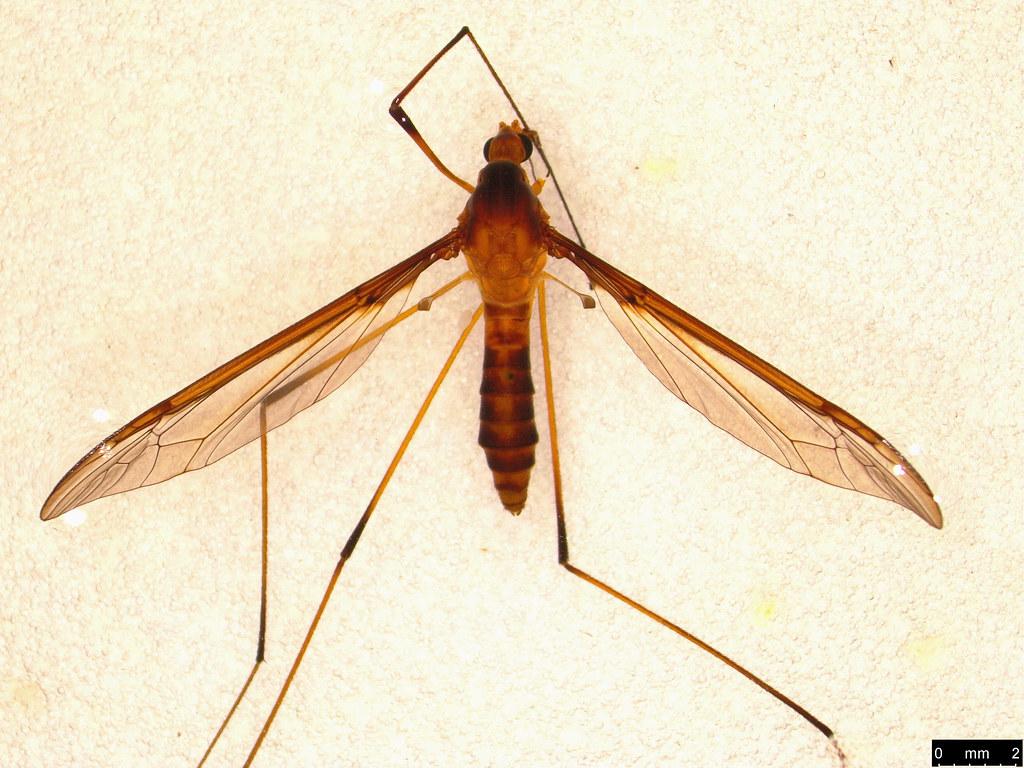 15a - Tipulidae sp.