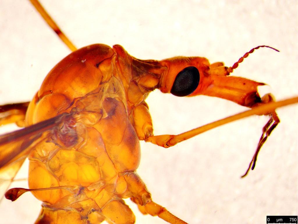 16 - Tipulidae sp.