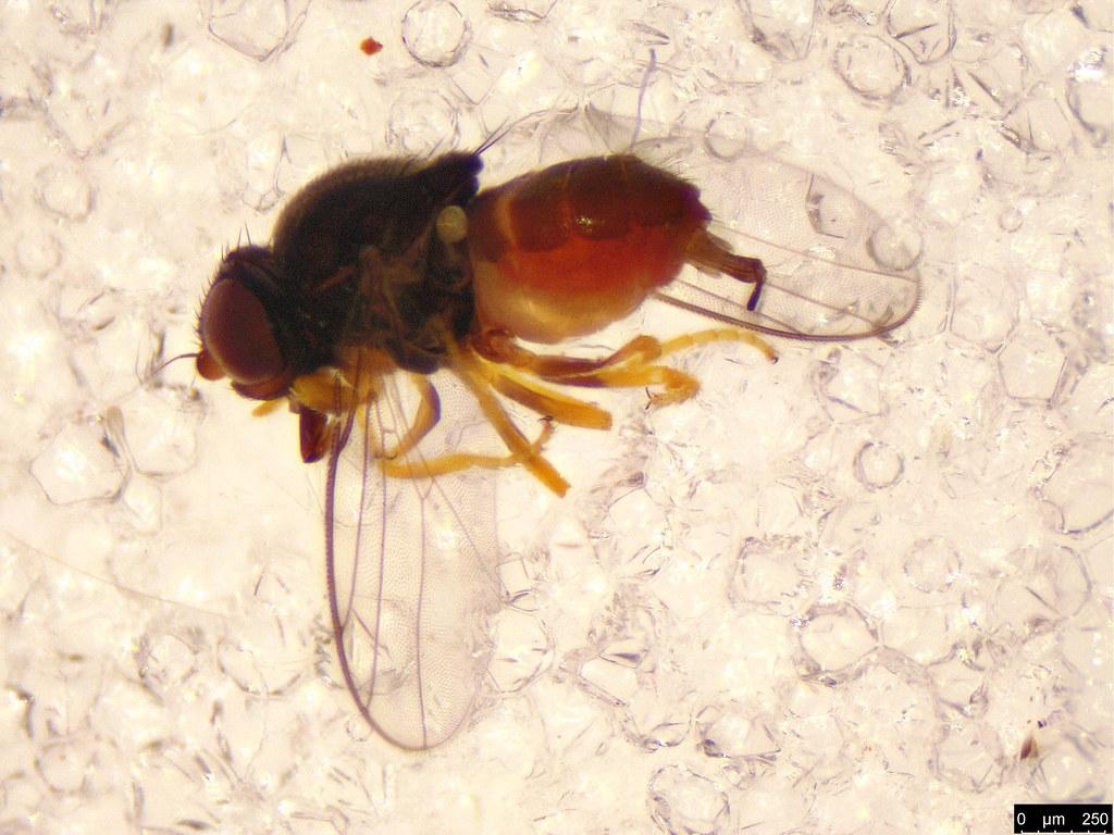 21 - Diptera sp.
