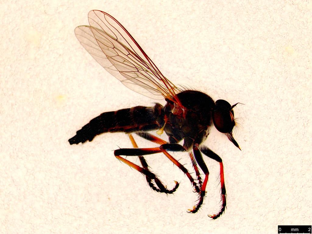 23 - Asilinae sp.