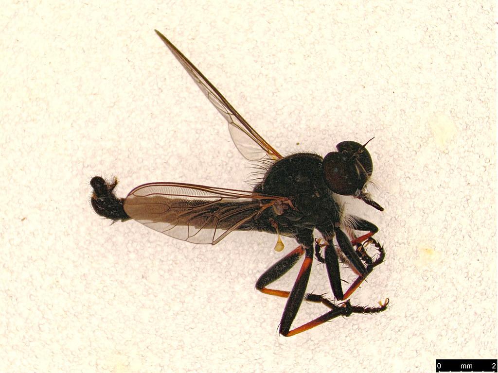 24 - Asilinae sp.
