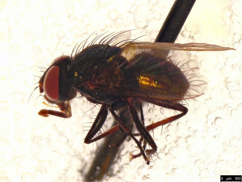25 - Diptera sp.