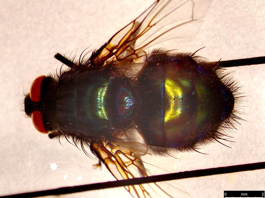 27a - Tachinidae sp.