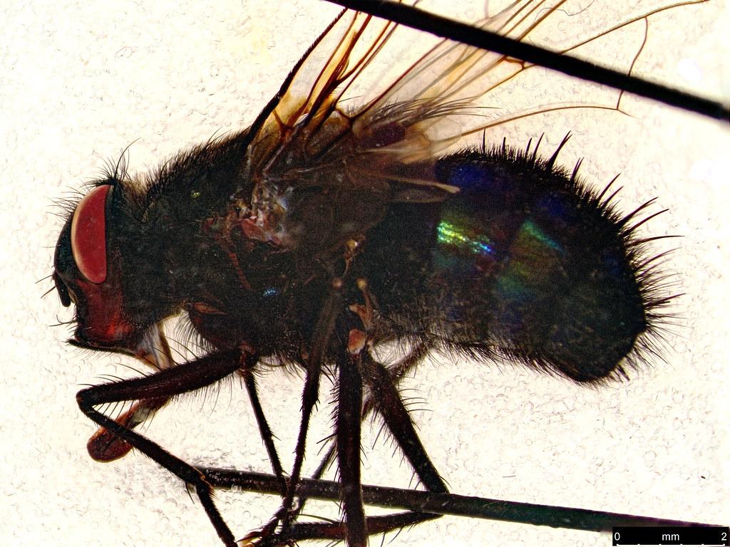 27b - Tachinidae sp.