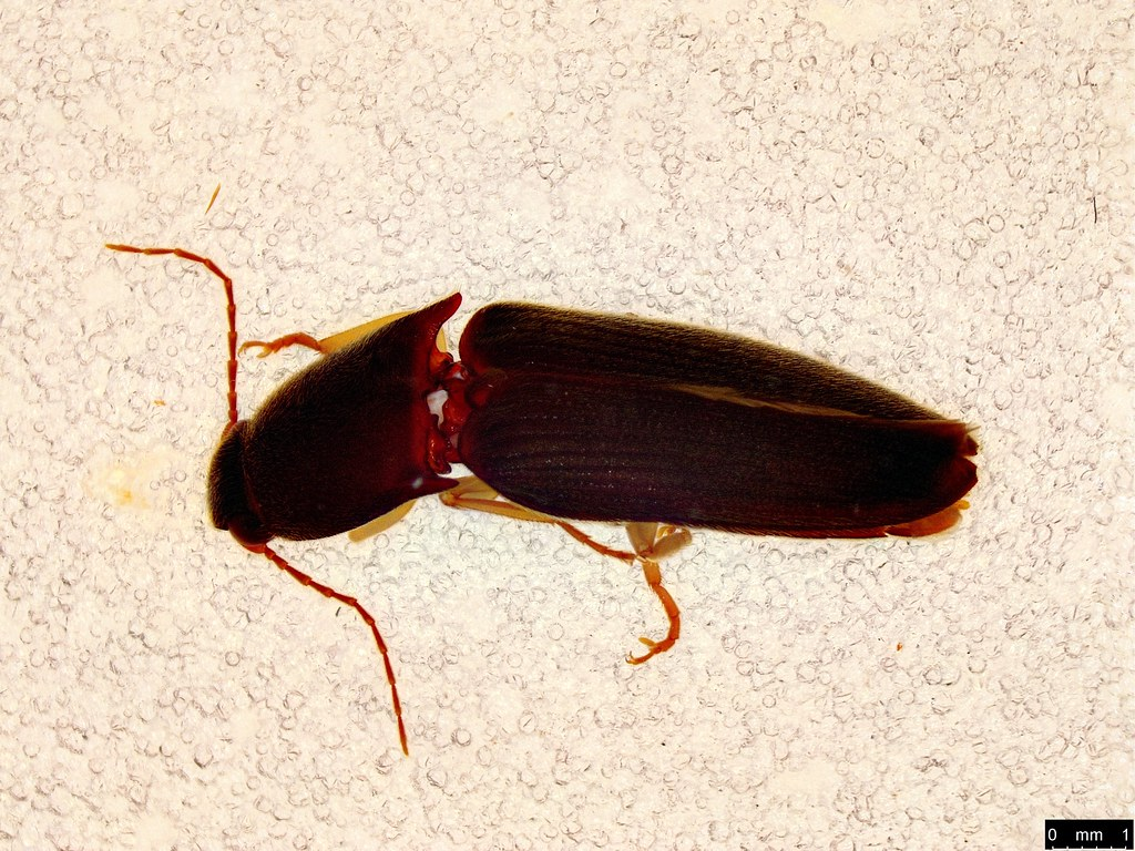 30a - Glyphochilus sp.