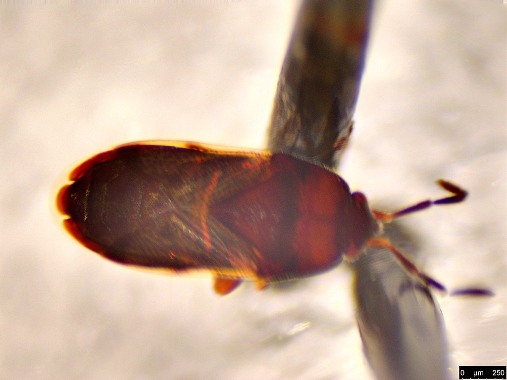 41b - Rhyparochromidae sp.