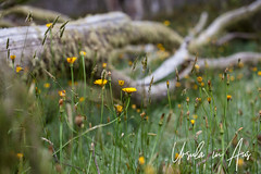 Dandelions and a Fallen Tree 1616