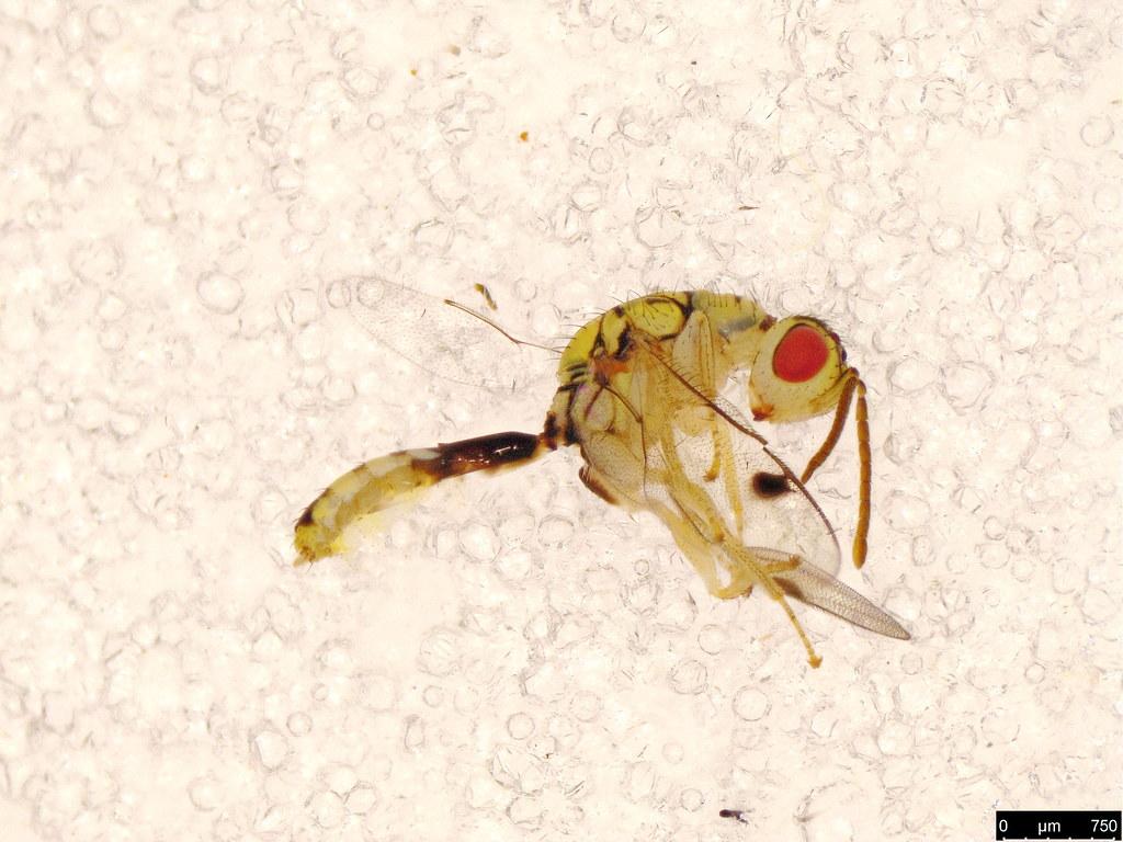 3a - Megastigmidae sp.