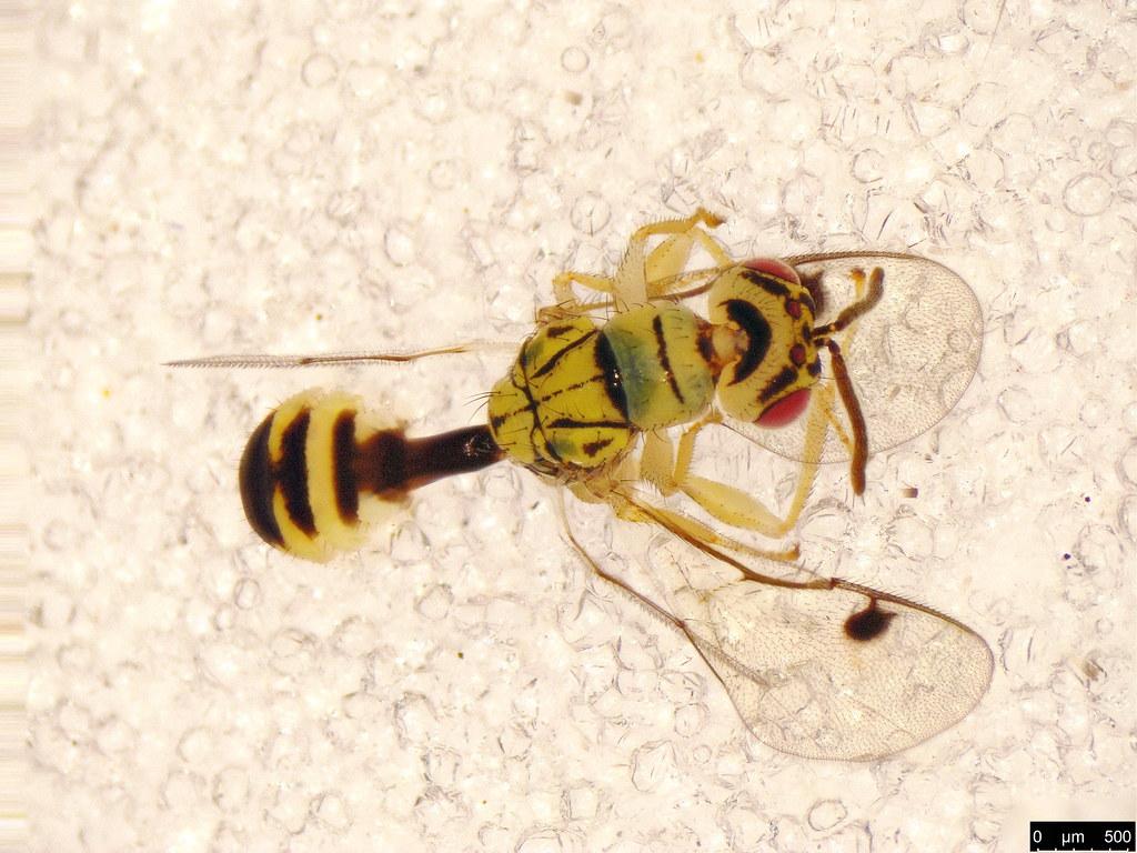 3c - Megastigmidae sp.