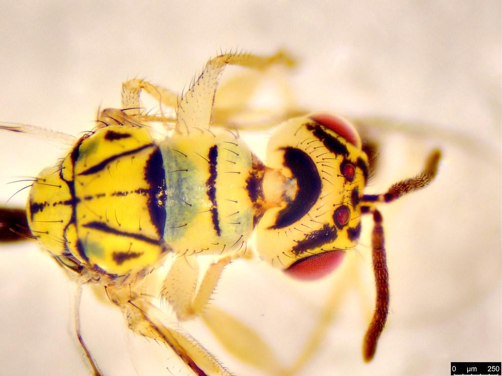 3d - Megastigmidae sp.