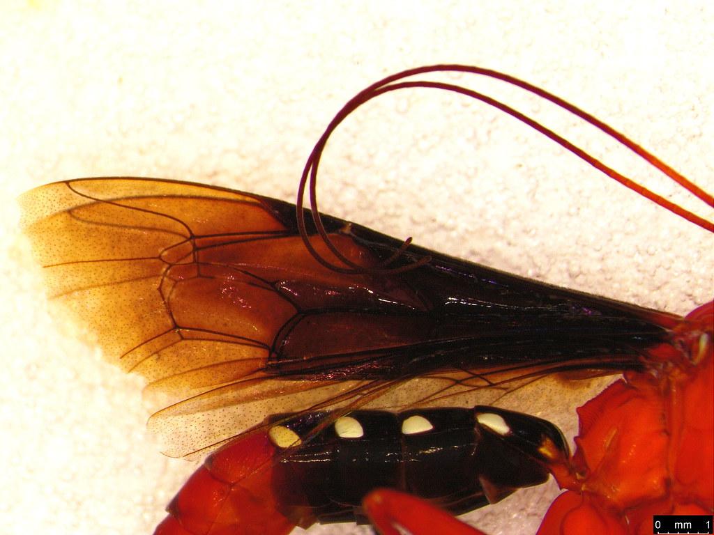 4e - Lissopimpla excelsa (Costa, 1864)