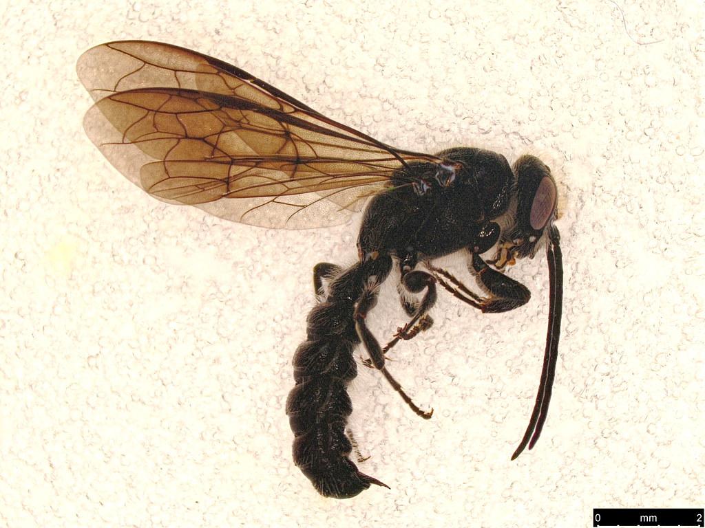 6 - Tiphiidae sp.