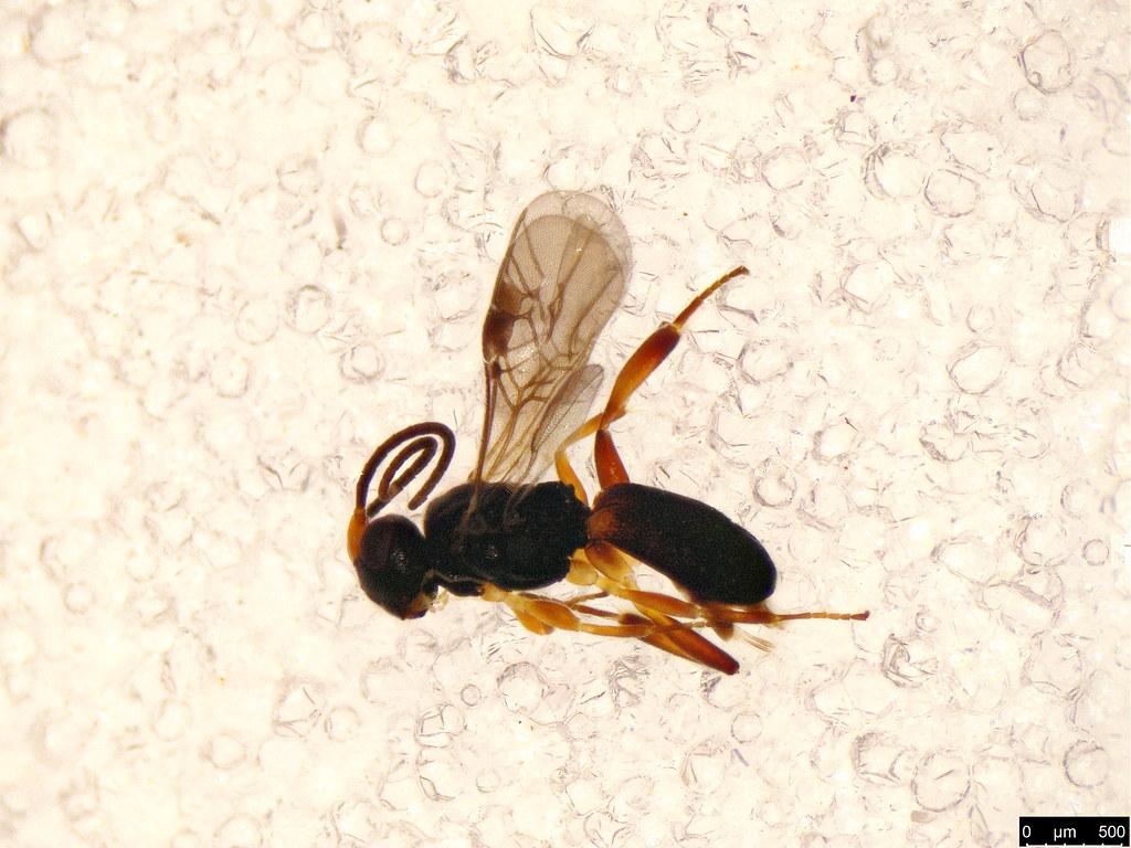 8a - Cheloninae sp.