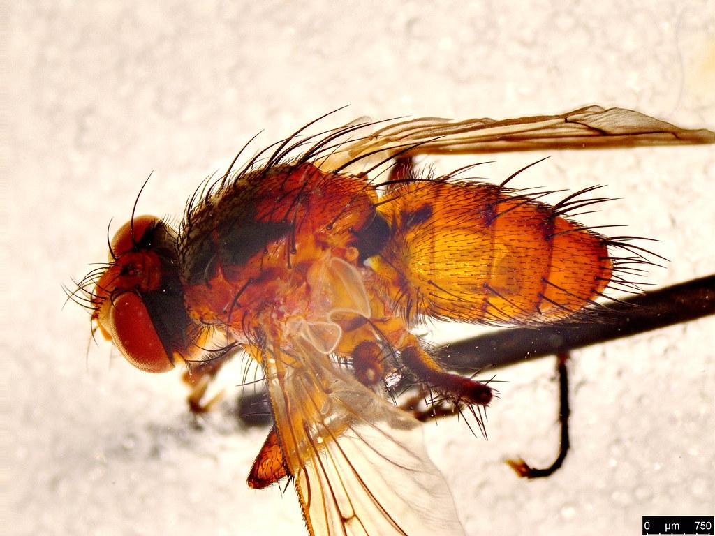 21b - Tachinidae sp.