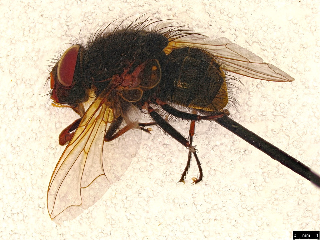 26a - Calliphoridae sp.