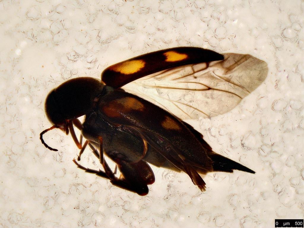 31 - Mordellidae sp.