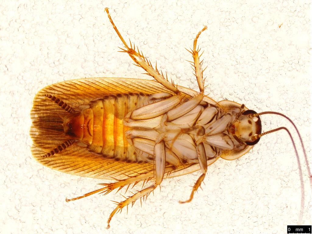 34b - Blattodea sp.