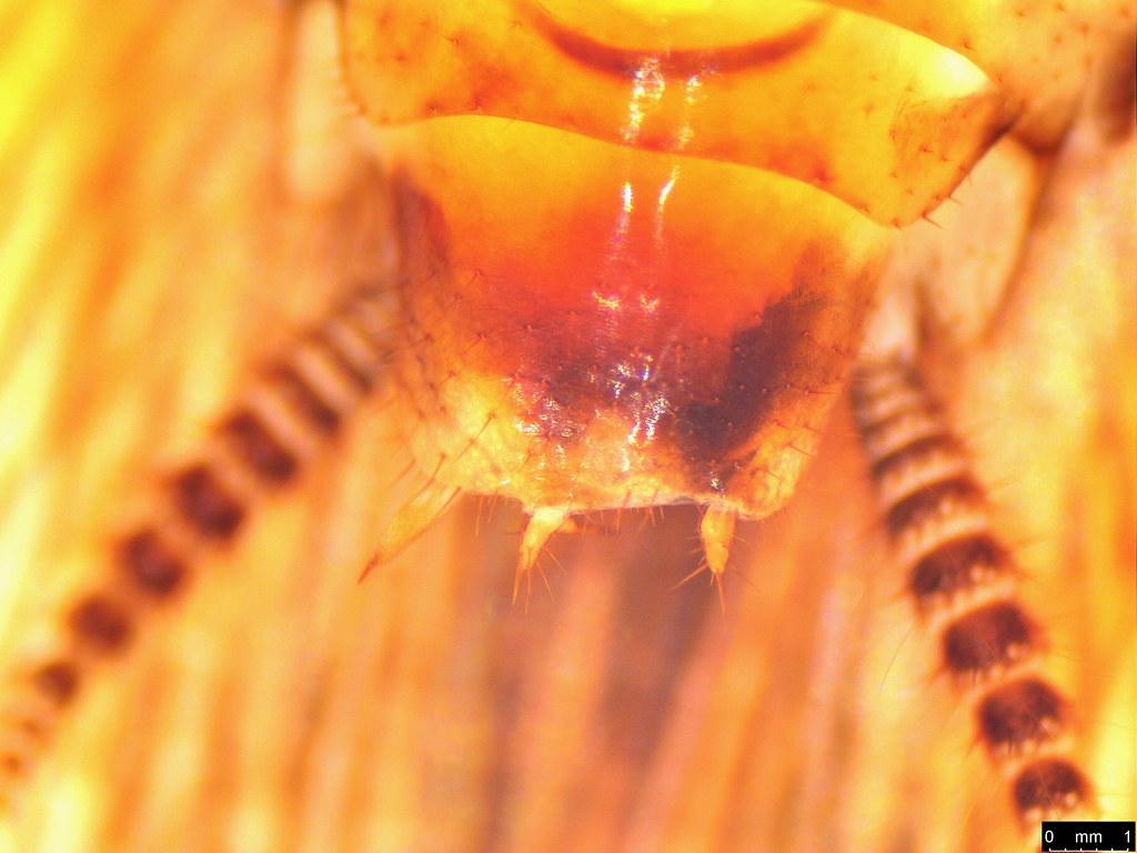 34c - Blattodea sp.