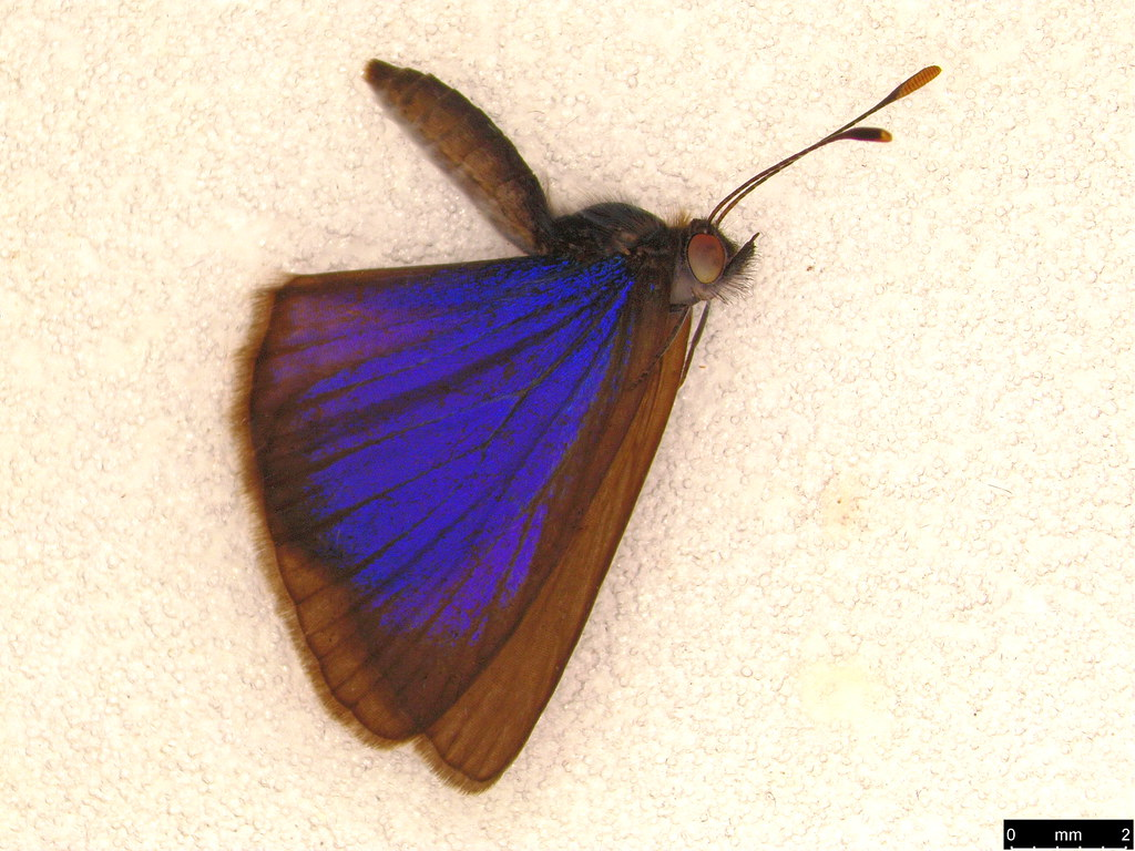 42 - Zizina labradus (Godart, 1824)