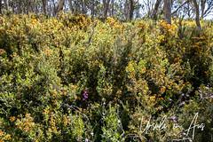 Alpine Shaggy-pea Bushes (Podolobium alpestre) 3110
