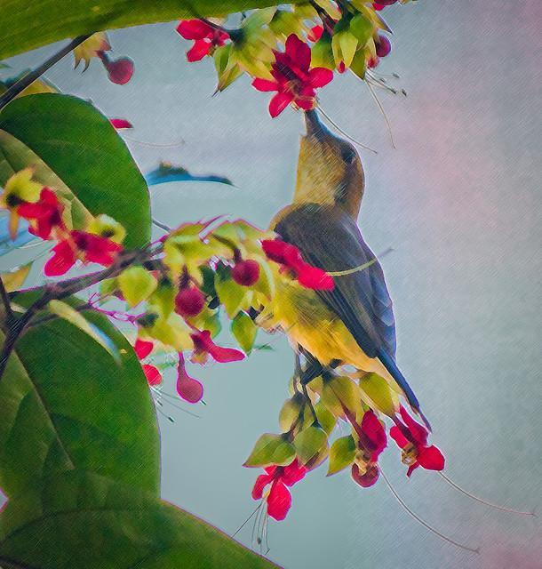 Female Olive-backed Sunbird, taken in my garden