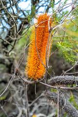 Banksia Ericifolia 4