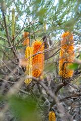 Banksia Ericifolia 3