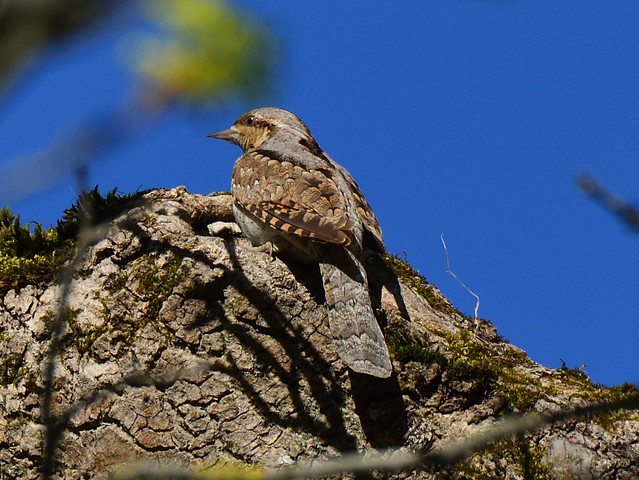 Wryneck from Summer