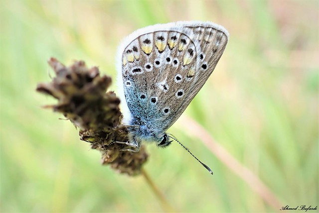 Butterfly 2026 (Polyommatus icarus)