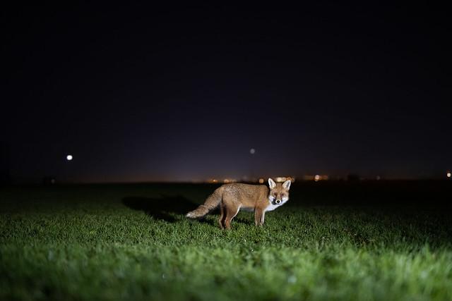 The Urban fox